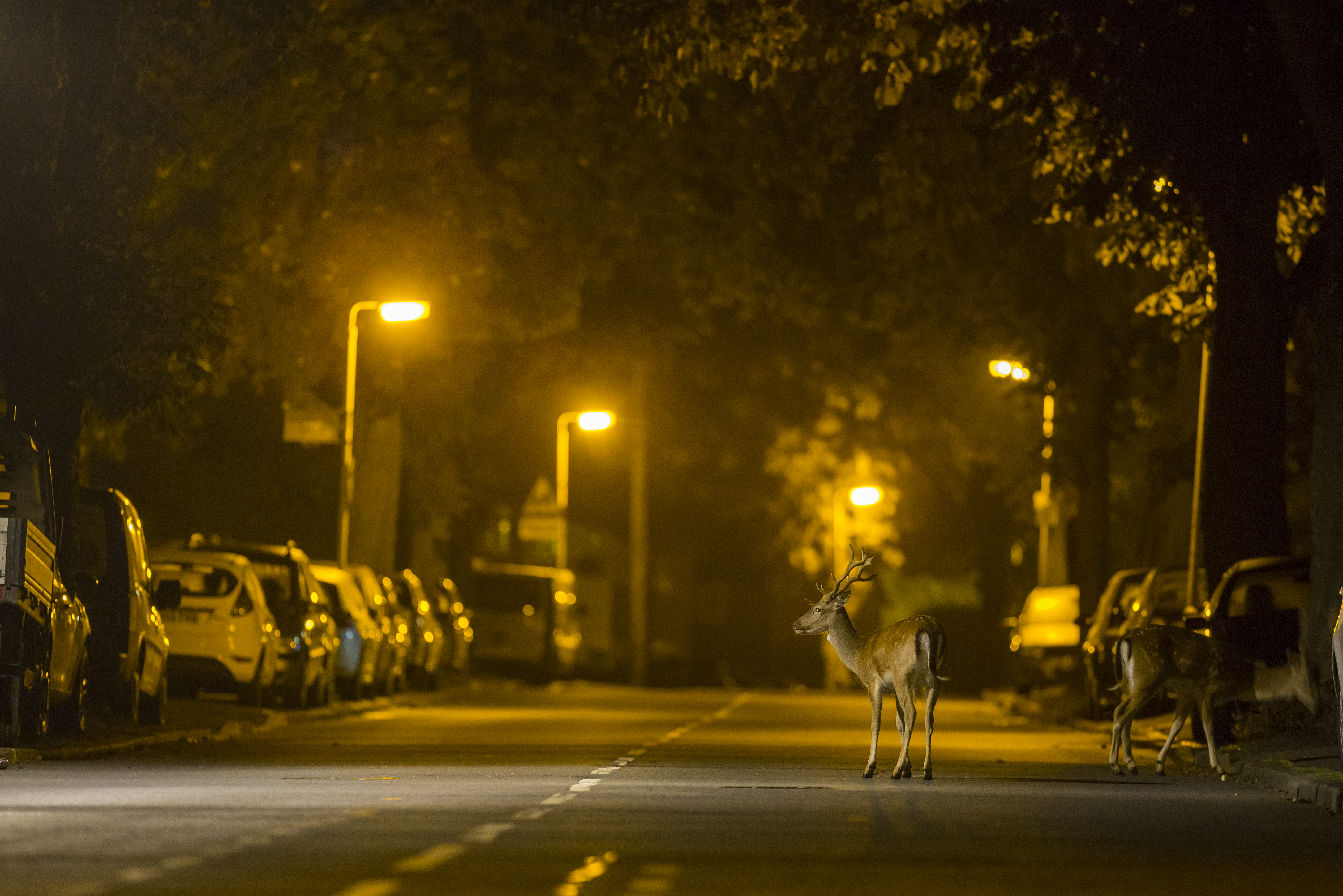 Urban-fallow-deer-in-street-at-night-time-1
