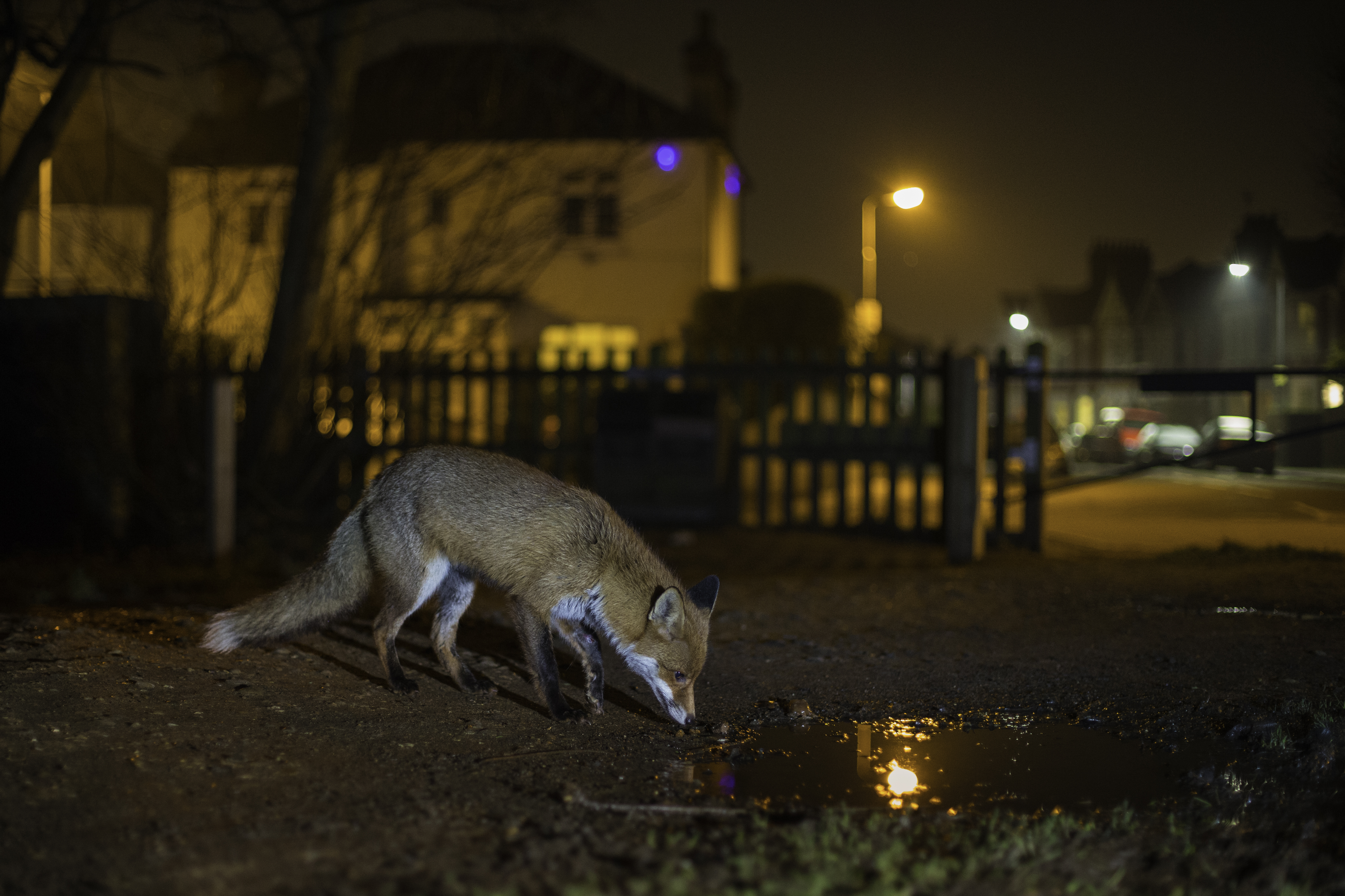 Urban-fox-scavenging