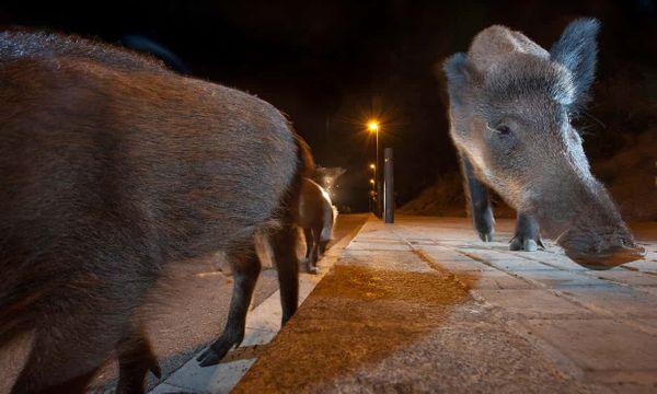 Când ne simt prezența, animalele sălbatice aleg viața de noapte. INTERVIU